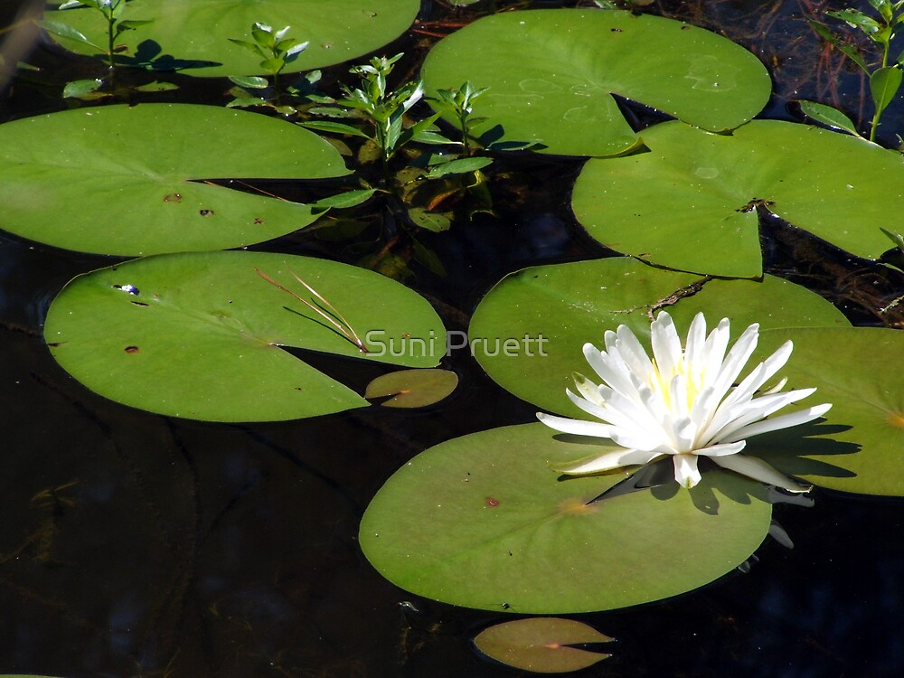 In The Pond by Suni Pruett