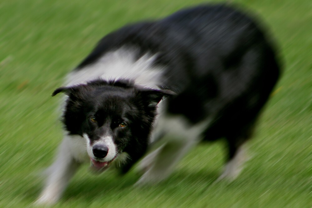 Border Collie - Poetry in Motion by Chris Clark