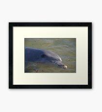 Monkey Mia dolphin, WA Framed Print