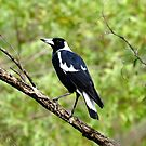 Magpie in the wild by Mark Batten-O'Donohoe