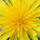 Dandelion Flower by BevB