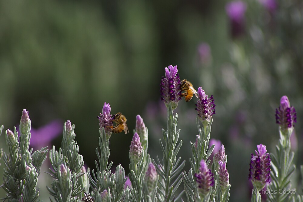 Lavender by Nicholas Coote