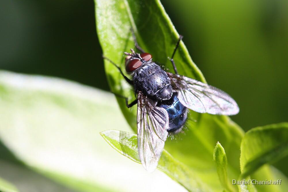 Big Bad Fly by Daniel Chanisheff