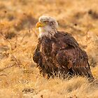 Bald Eagle by Dave Hare
