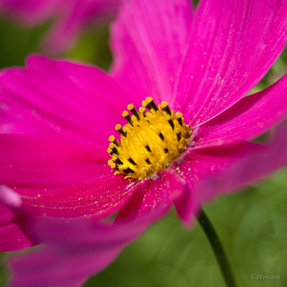 Pink flower by EdVincent