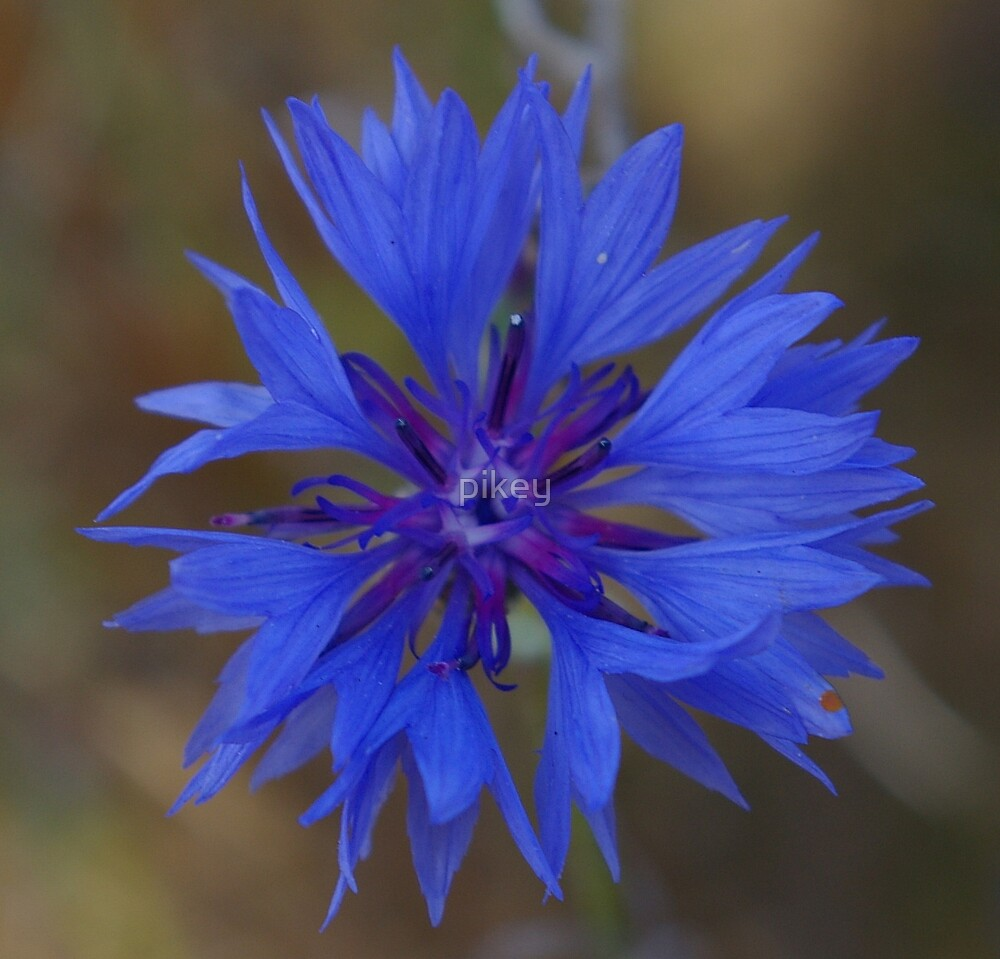 flower blue  by pikey