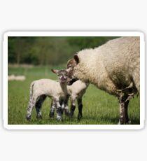 Ewe & Lambs Sticker
