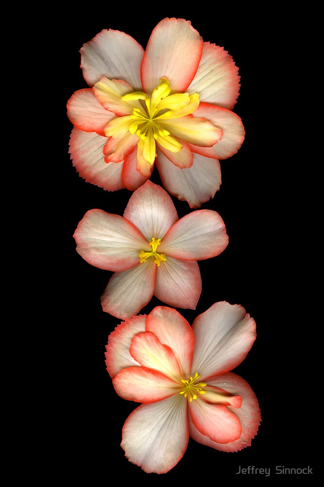 Begonias in a row by Jeffrey  Sinnock