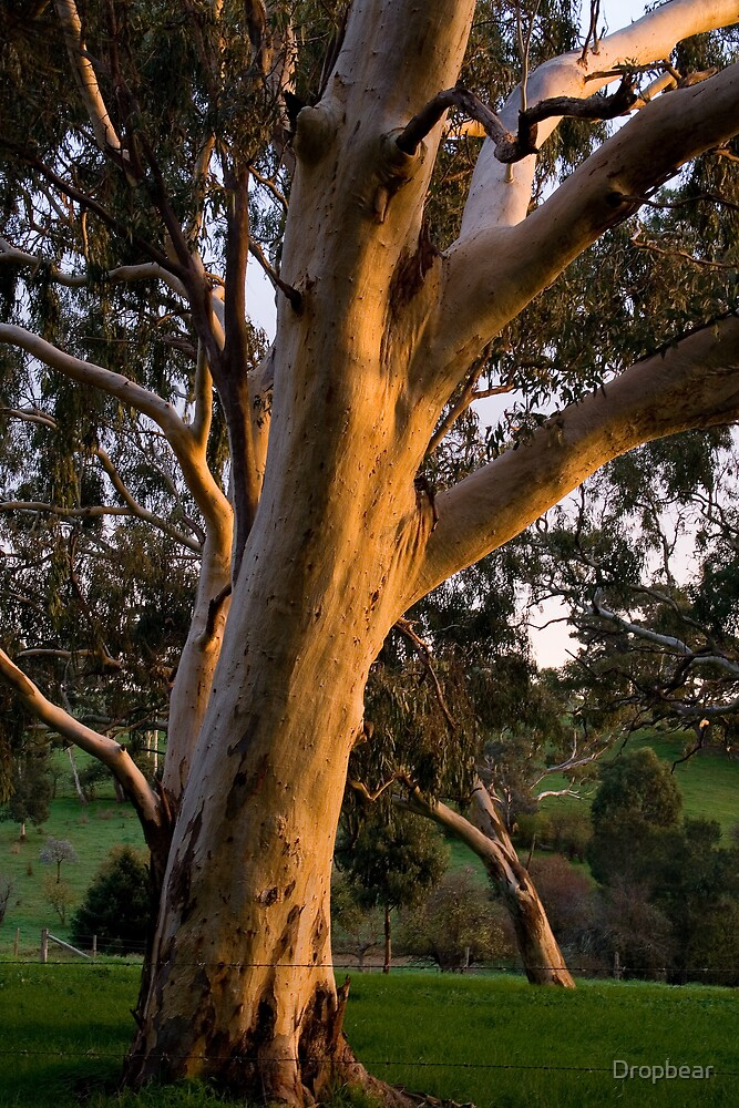 Gum tree by Dropbear