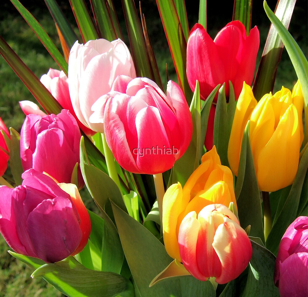 tulips in the sun by cynthiab