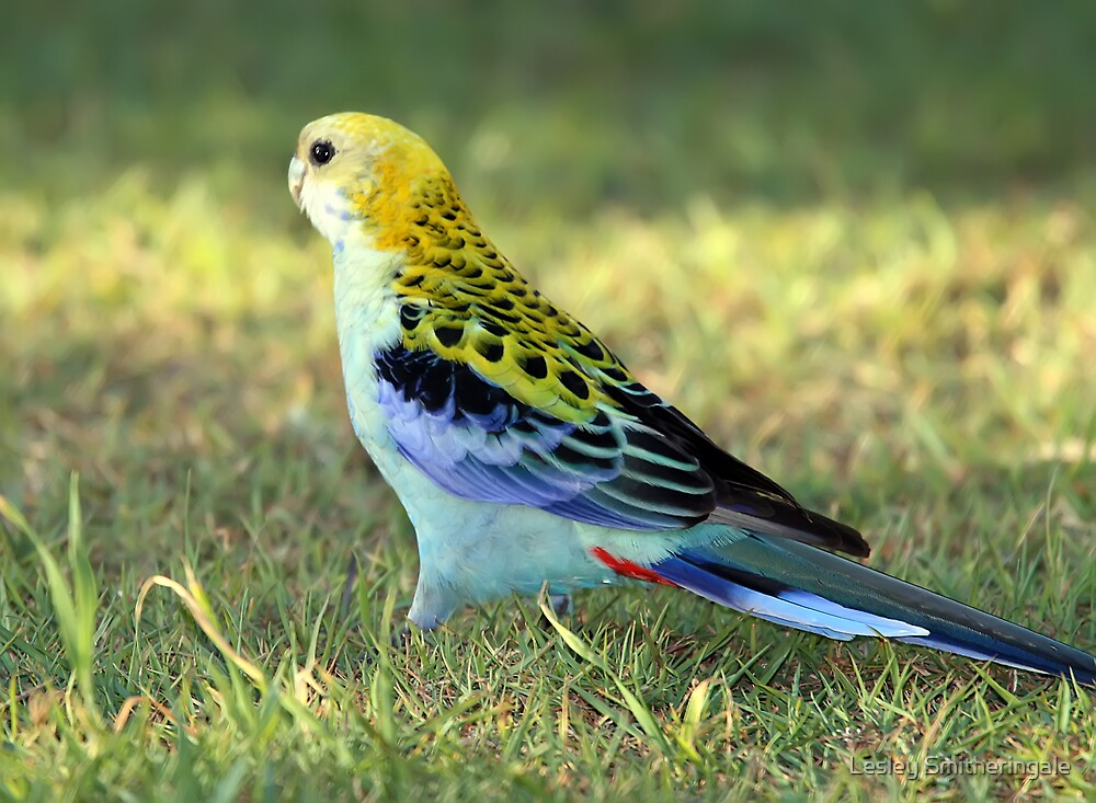 Pale-headed Rosella by Lesley Smitheringale
