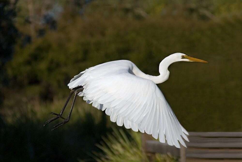 Egret in Flight by Judy Harland