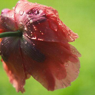 Poppy in the rain by lje00