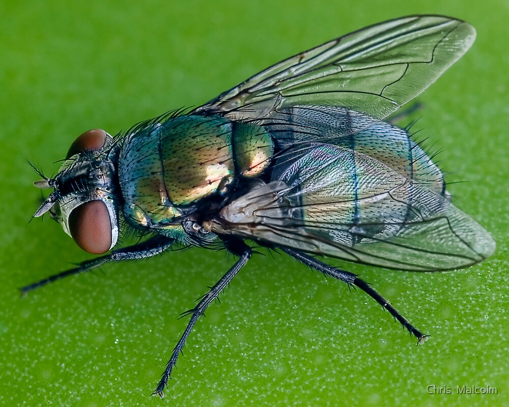 Green fly by Chris  Malcolm