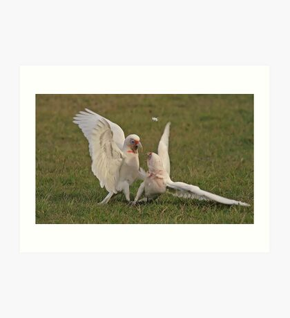 Long Beak Corellas Art Print