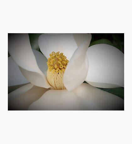 Magnolia macro Photographic Print