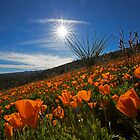 A Sea of Poppies by Sue  Cullumber