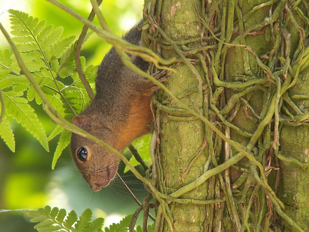 Jungle Squirrel by DaveP