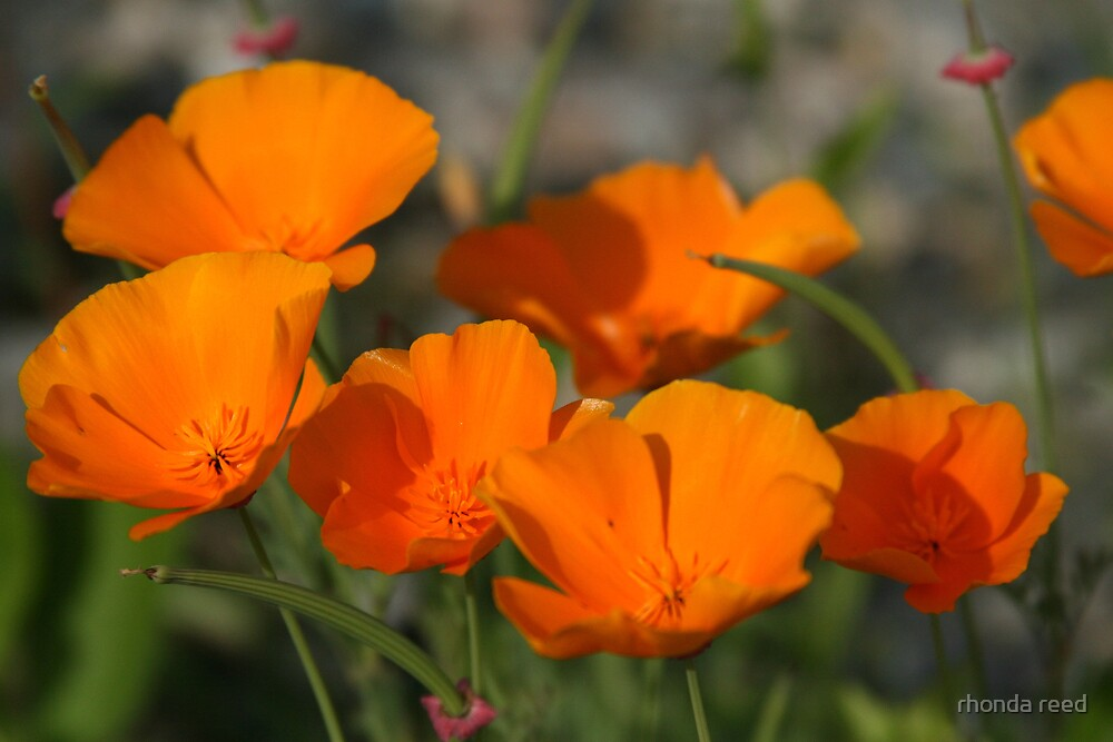 Golden Poppies by rhonda reed