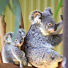 Koala mum and bub by cs-cookie