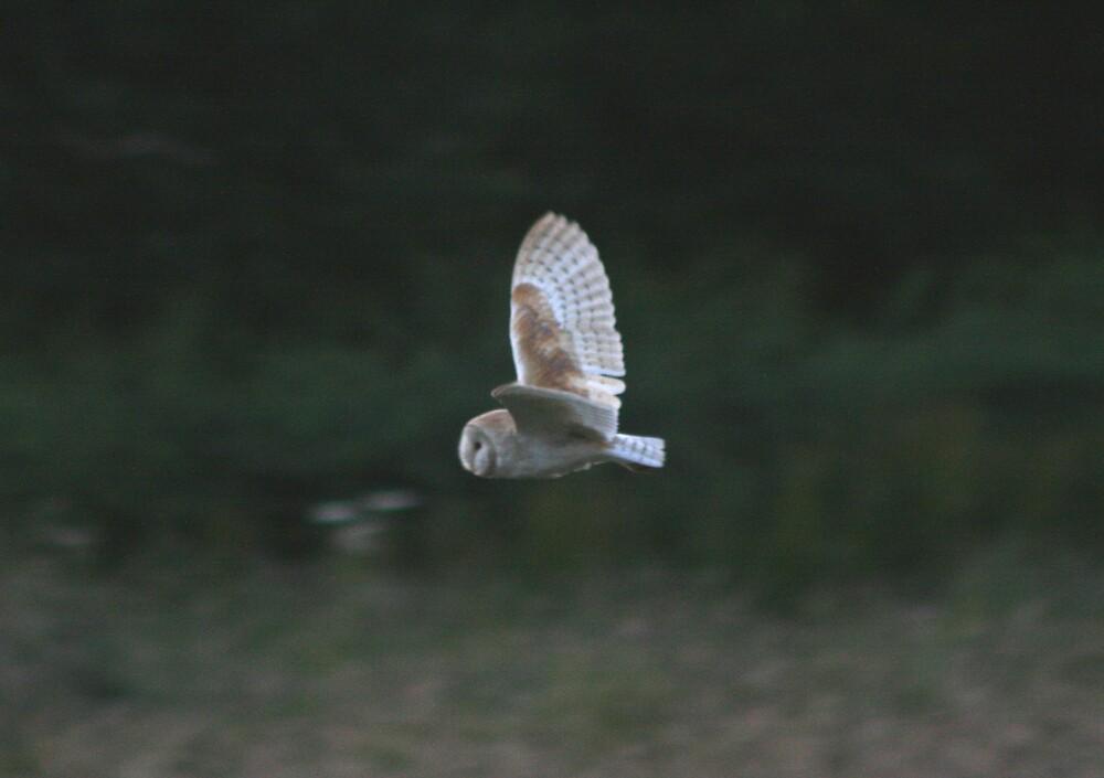 Barn Owl by Monster