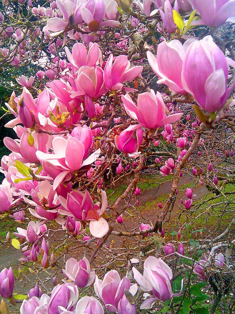 Magnolia by FABART