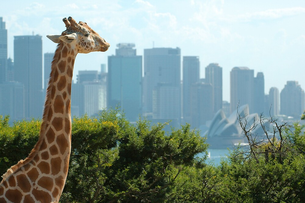 Giraffe checks out the Sydney Opera House by Trent Wallis