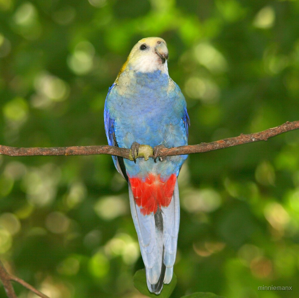 Pale Headed Rosella by minniemanx