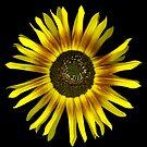 Sunflower by Jeffrey  Sinnock