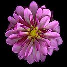Pink /Purple Dahlia by Jeffrey  Sinnock