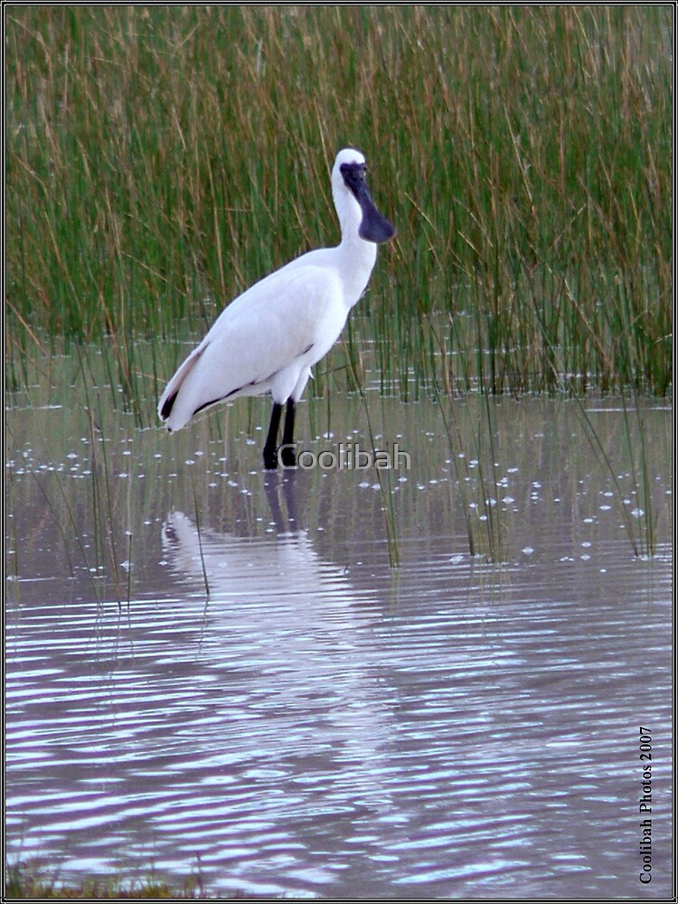 Spoonbill Trilby NSW by Coolibah