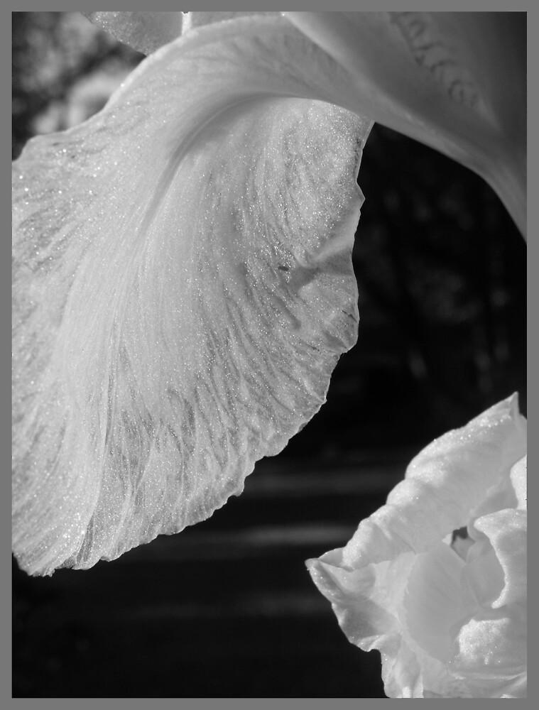 Iris by tazzae
