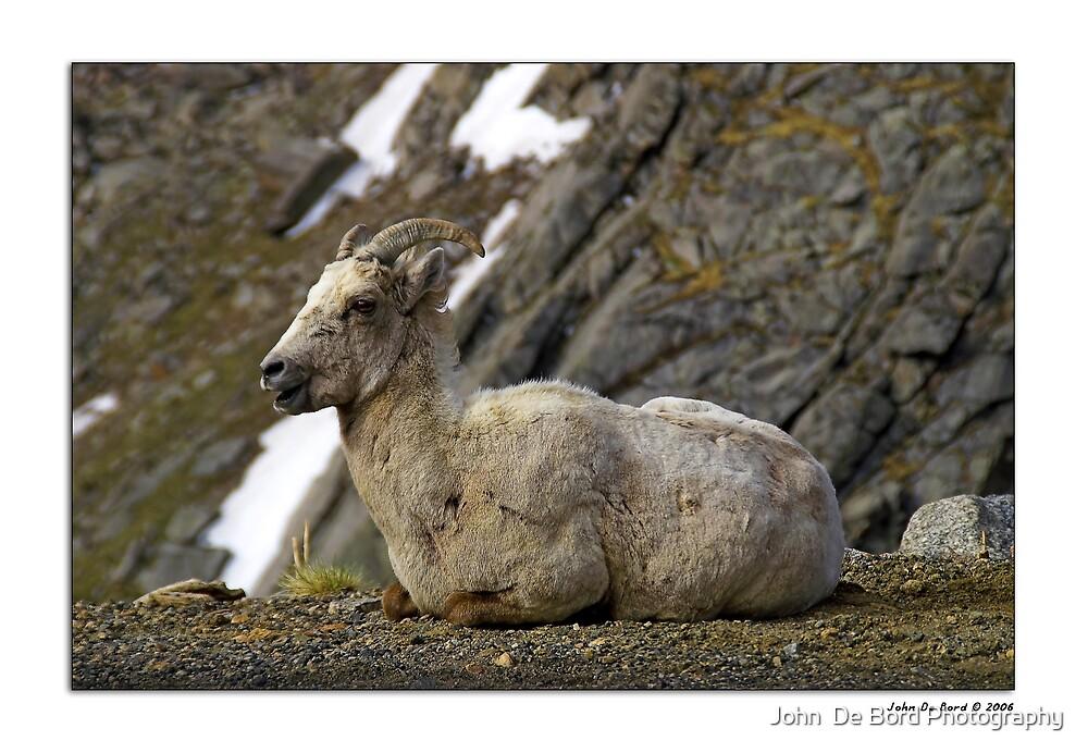 Rocky Mountain Big Horn Sheep by John  De Bord Photography