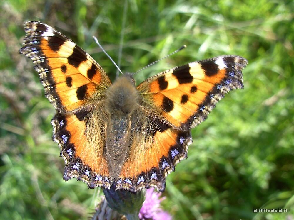 Tortoiseshell Butterfly by iammeasiam