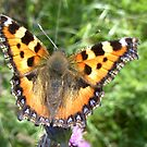 Tortoiseshell Butterfly by iammeasiam