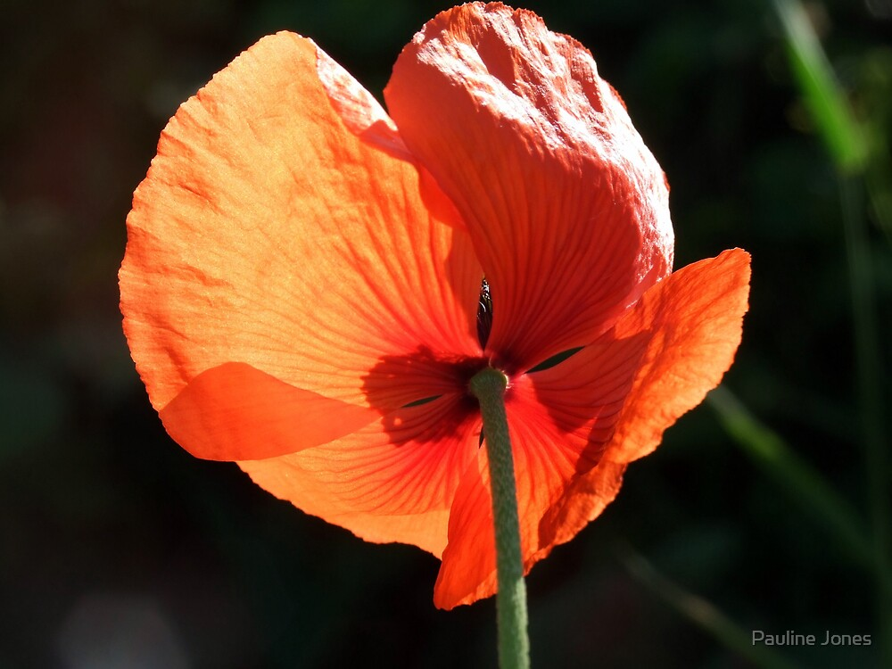 Field Poppy by Pauline Jones