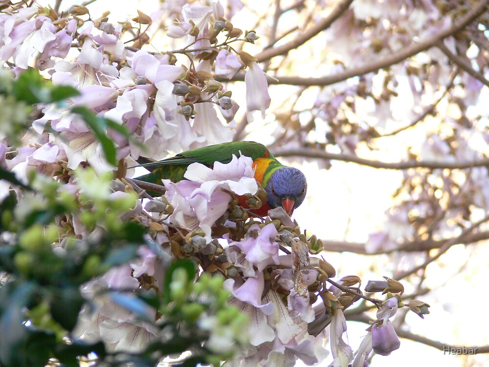 Lorikeet in the branches. by Heabar