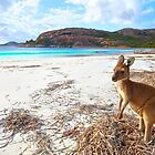 Aussie Roo on the Beach by Adam Gormley
