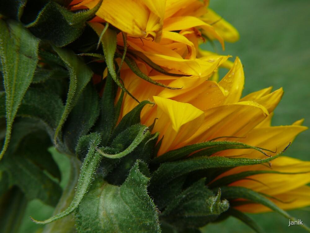 sunflower by janik