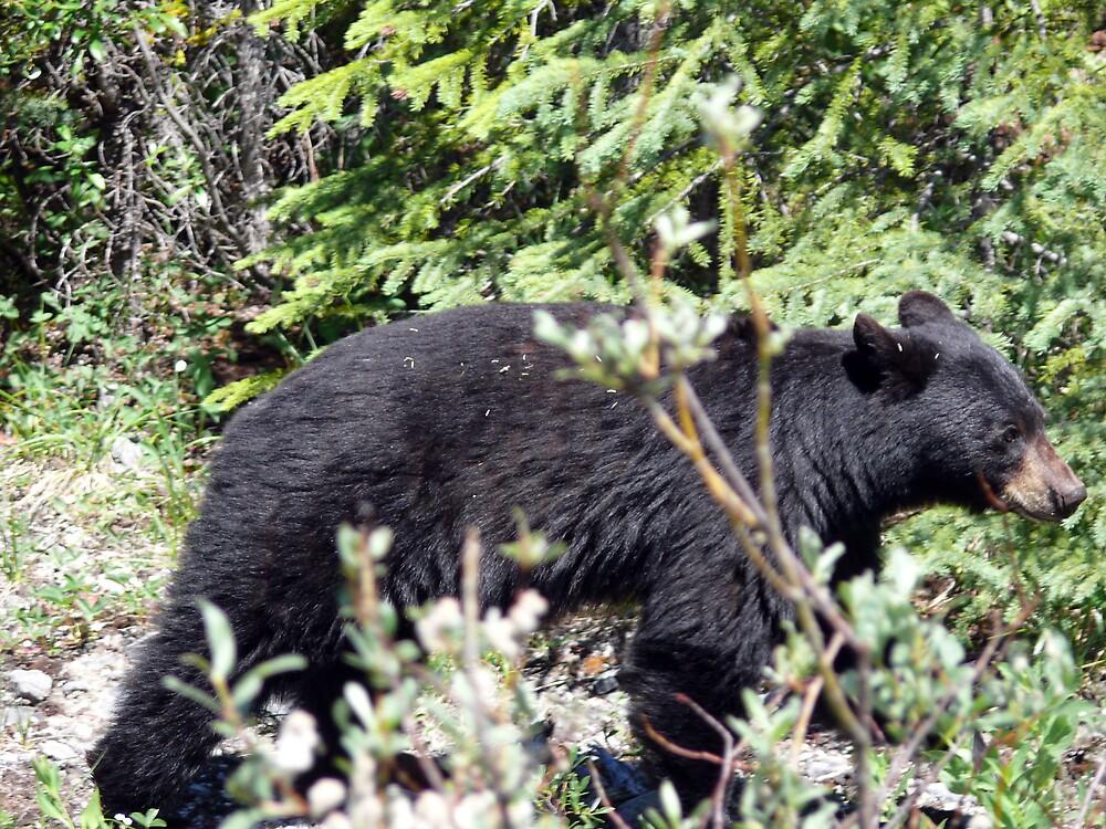 Canadian Black Bear by Josh Meggs