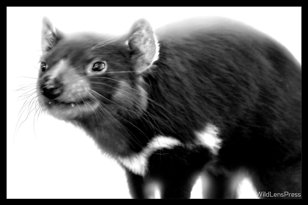 Tasmanian Devil : Sarcophilus harrisii by WildLensPress