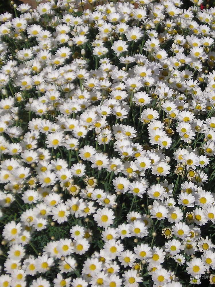 A Cloud of Daisys by manda