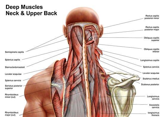 Pósters «Anatomía humana que muestra músculos profundos en el cuello ...