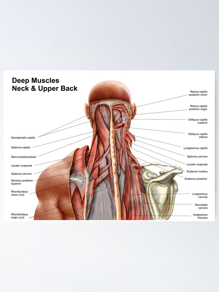 Human Anatomy Showing Deep Muscles In The Neck And Upper Manual Guide