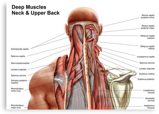 Lienzos «Anatomía humana que muestra músculos profundos en el cuello ...