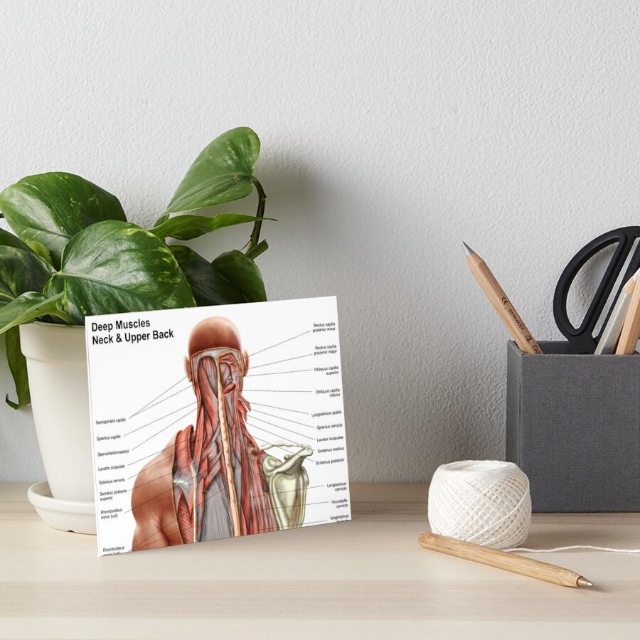 Láminas de exposición «Anatomía humana que muestra músculos ...