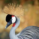 Black Crowned Crane by gromol