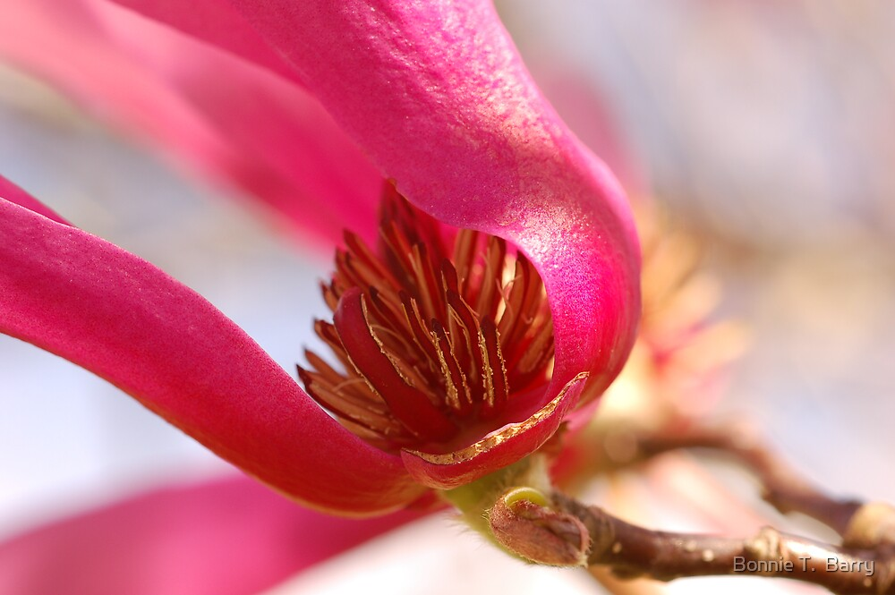 Japanese Magnolia Heart by Bonnie T.  Barry