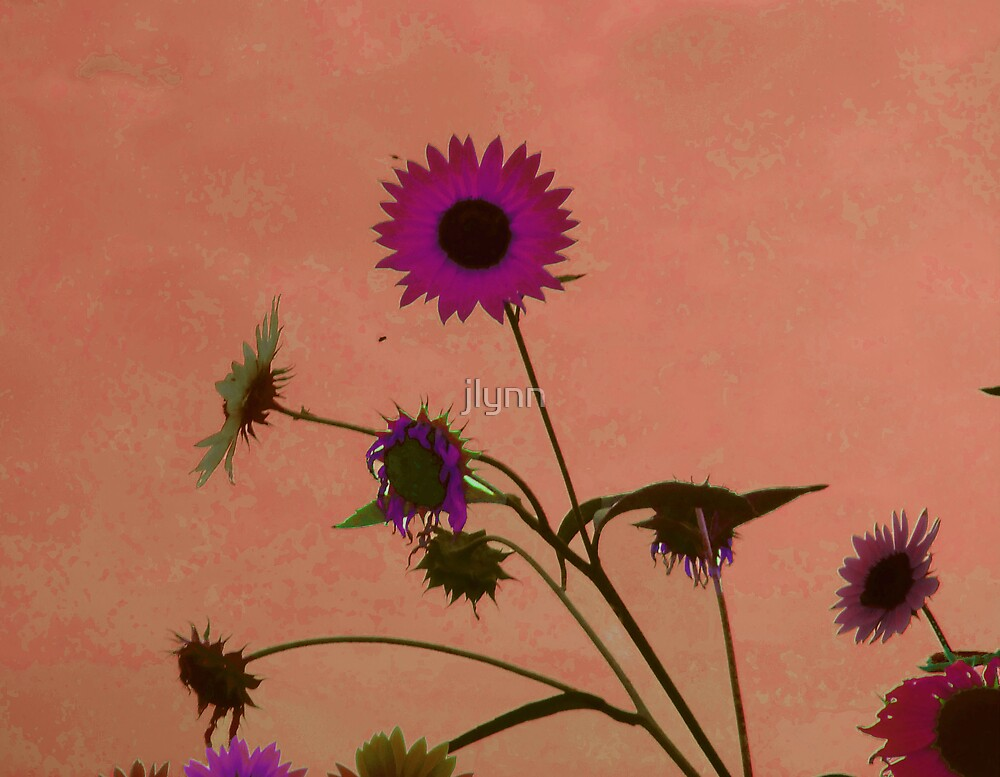 sunflower days by jlynn