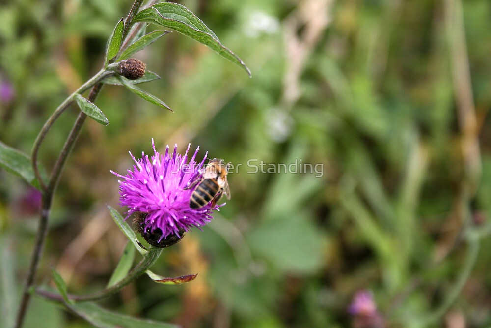 Bee on a Knapweed Flower by Jennifer Standing